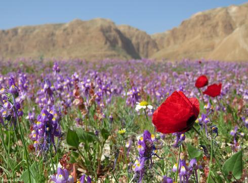 O Mar Morto em Israel está cheio de flores cumprindo assim a profecia de Ezequiel 47.