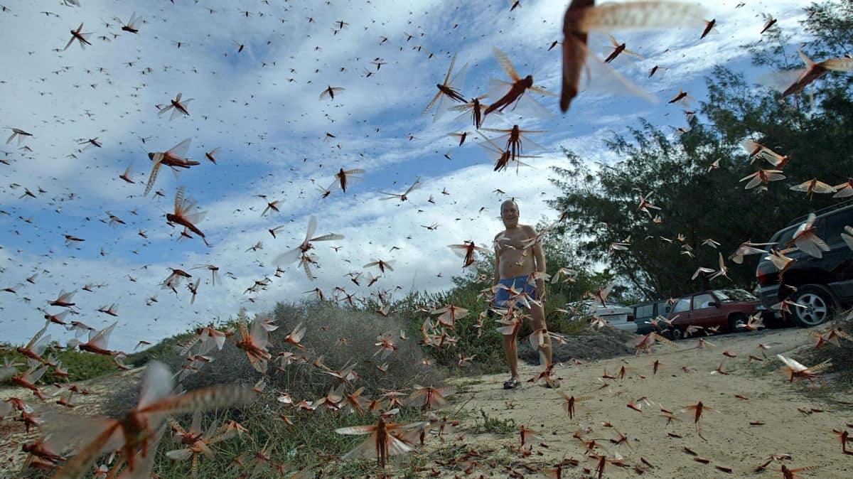 O coronavírus está ofuscando a pior invasão de gafanhotos da história.