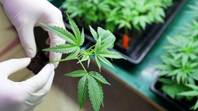 Indústria de cannabis de Israel se prepara para legalização